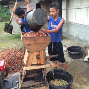 loacal farmers in onang ganjang pulping cherries
